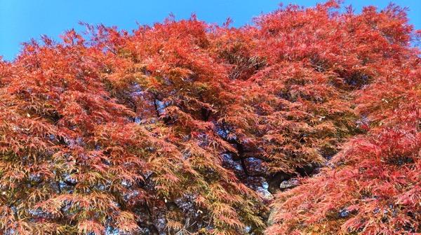 ZenFone 5とZenFone 3で新宿御苑の紅葉を撮り比べ
