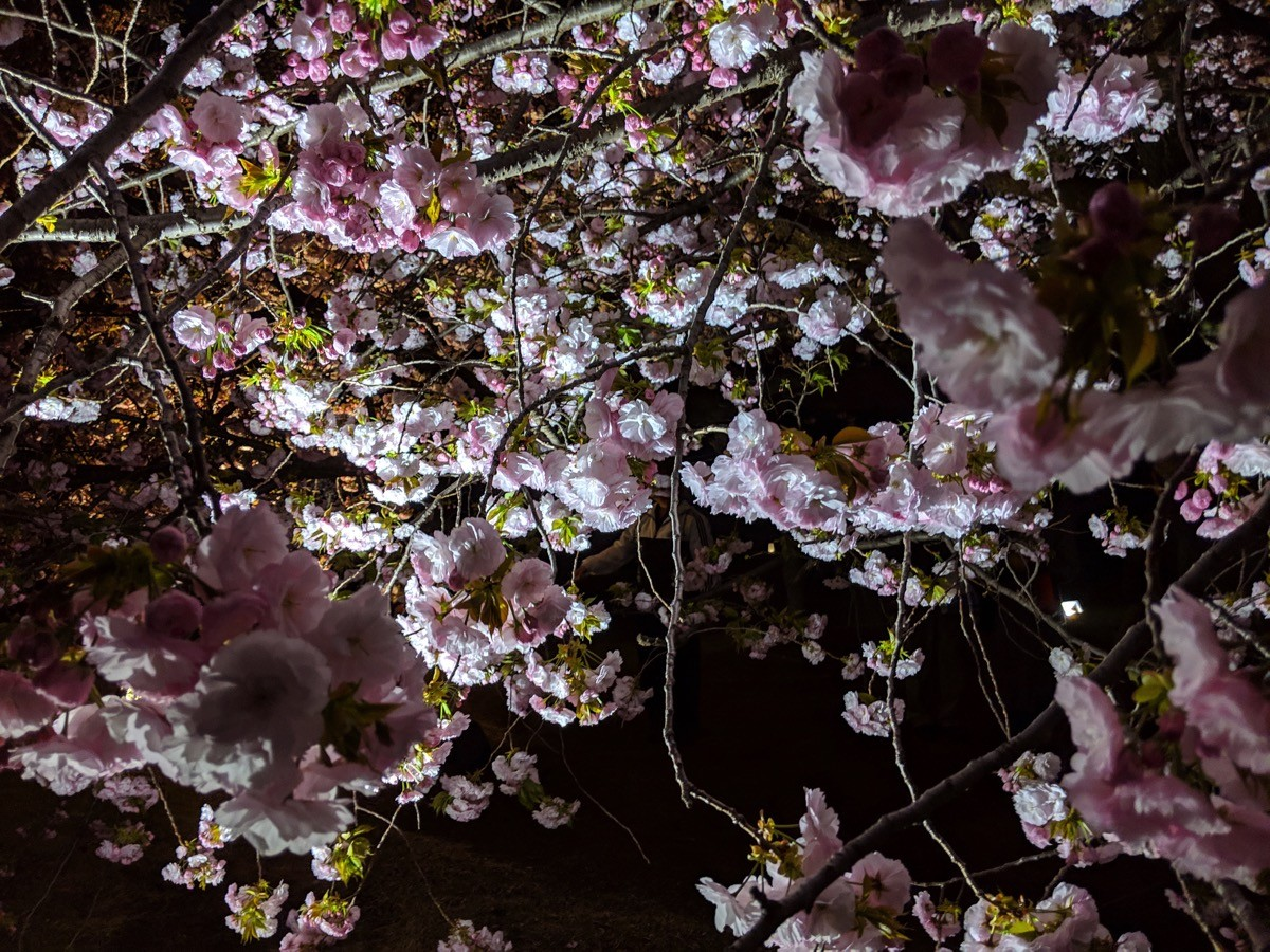 新宿御苑 桜のライトアップ