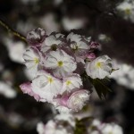 【新宿御苑】桜の夜間ライトアップに行ってみた
